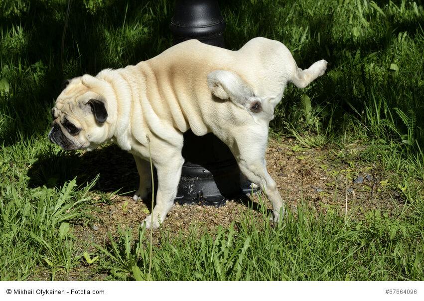 Hunde markieren ihre Wege und hinterlassen so interessante Hinweise für nachfolgende Tiere