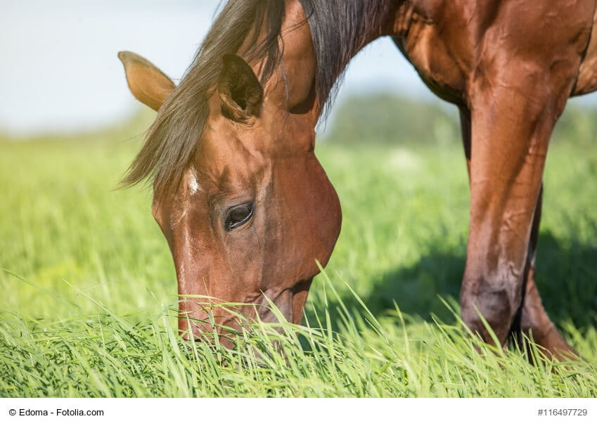 Ein Pferd grast auf einer Sommerwiese.