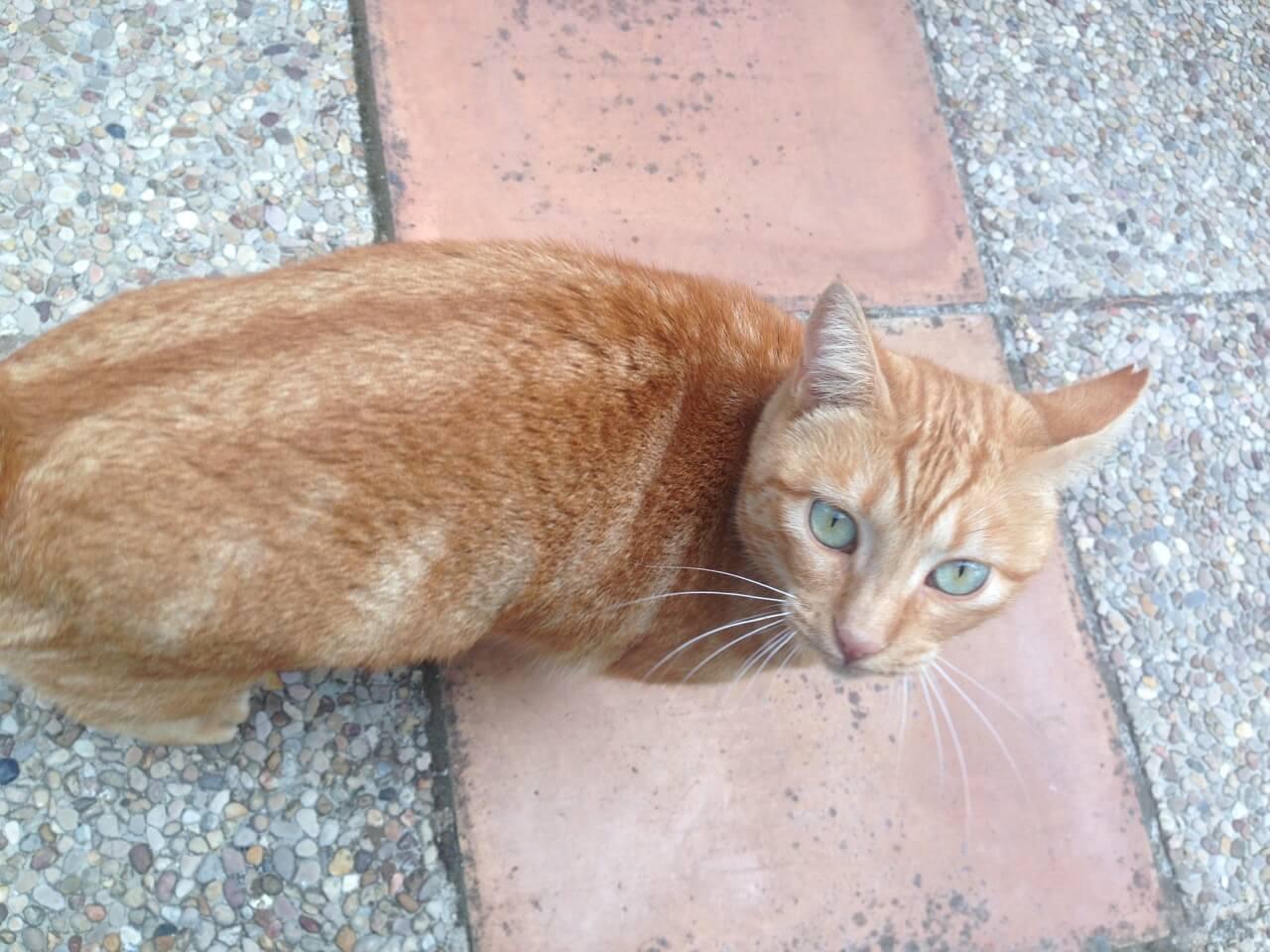 Eine rotgetigerte Katze auf einem Weg.