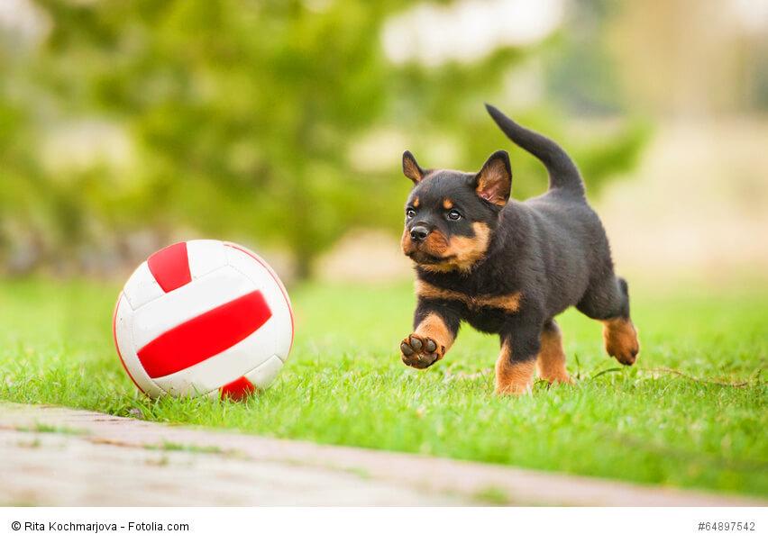 Rottweiler Welpe spielt mit einem Ball