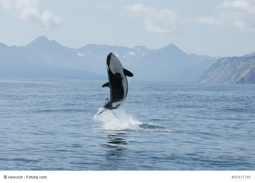 Schwertwal springt aus dem Wasser