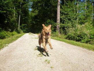 Rennender Hund auf Waldweg