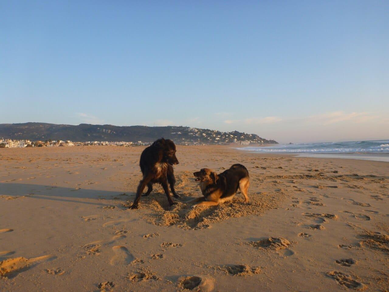 Zwei Mischlingshunde spielen am Strand
