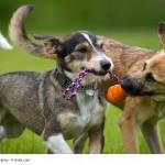 Terrier sind ursprünglich Jagdhunde und brauchen als solche viel Bewegung und eine Aufgabe.
