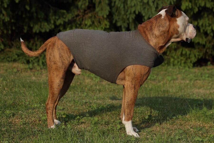Eng anliegendes Thundershirt bei einem Hund