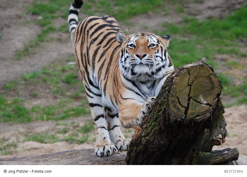 Tiger am Kratzbaum mit Blickkontakt