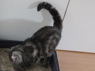 Katze pinkelt aus einem Katzenklo heraus