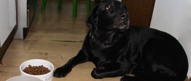 Ein schwarzer Labrador sitzt vor seinem vollen Fressnapf und guckt traurig