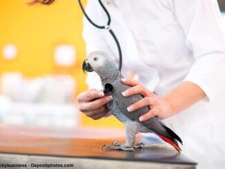 Vogelkrankheiten, ein grauer Papagei wird von einer Tierärztin abgehört.