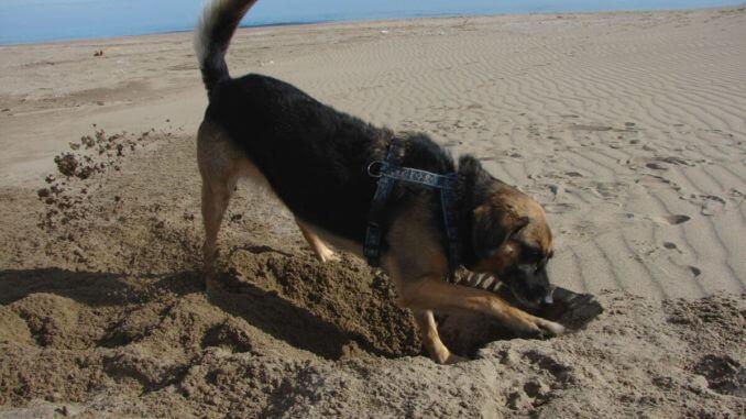 Schäferhundmischling buddelt am Strand