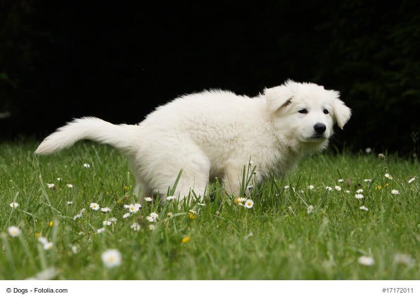weißer Welpe macht auf Wiese