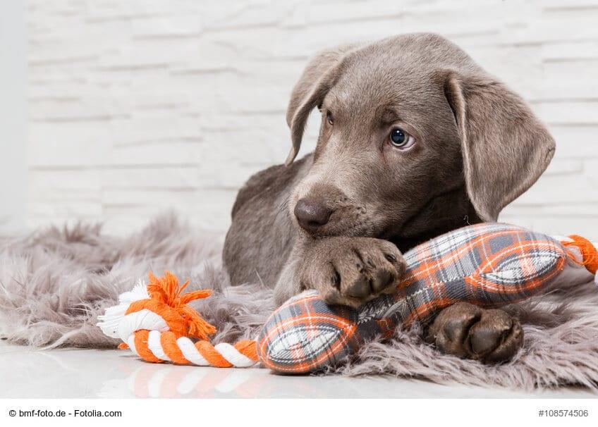 Süßer Hundewelpe mit einem Spielzeug